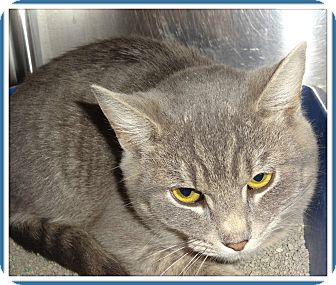 Domestic Shorthair Cat for adoption in Marietta, Georgia - TERRY