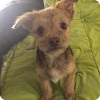 Adopt A Pet :: Buckwheat 'terrier mix' puppy - Los Angeles, CA