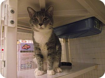 Domestic Shorthair Cat for adoption in Chambersburg, Pennsylvania - Leo