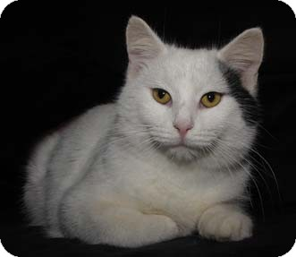 Turkish Van Cat for adoption in Merrifield, Virginia - Pennywise