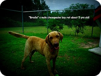 Chesapeake Bay Retriever Mix Dog for adoption in Gadsden, Alabama - Brodie
