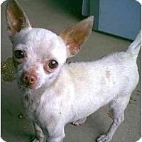 Adopt A Pet :: HARLEY - dewey, AZ