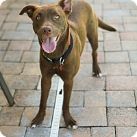 Adopt A Pet :: Harley - Lake Worth, FL