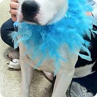 Adopt A Pet :: Perla - Fredericksburg, VA