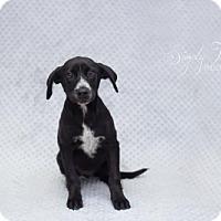 Labrador Retriever/Australian Cattle Dog Mix Dog for adoption in Valley Falls, Kansas - Roy