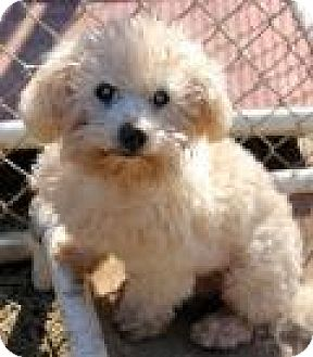 Maltese Dog for adoption in Memphis, Tennessee - Mickey