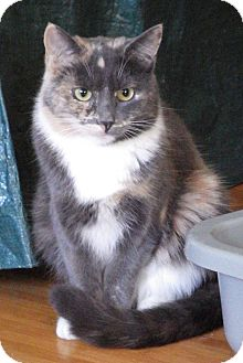 Domestic Shorthair Cat for adoption in Quail Valley, California - Nettie