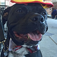 Pit Bull Terrier/Labrador Retriever Mix Dog for adoption in Columbus, Ohio - A - BUGSY