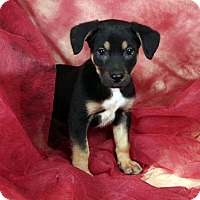 Adopt A Pet :: Dale Shep Mix - St. Louis, MO