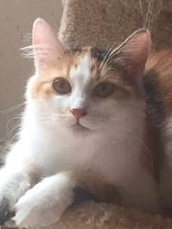 Calico Cat for adoption in McKinney, Texas - Esther
