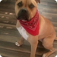 Boxer/American Bulldog Mix Puppy for adoption in Georgetown, Kentucky - Hercules