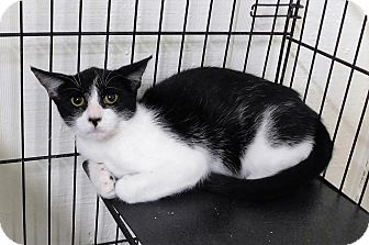 Domestic Shorthair Cat for adoption in Montgomery City, Missouri - Pippy