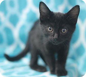 Domestic Shorthair Kitten for adoption in Walla Walla, Washington - Brandy
