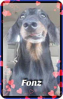 Dachshund Dog for adoption in Green Cove Springs, Florida - Fonz