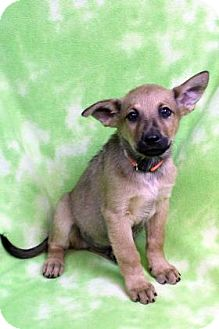 Shepherd (Unknown Type) Mix Puppy for adoption in Westminster, Colorado - YINN