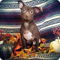 Adopt A Pet :: Masher - sylmar, CA