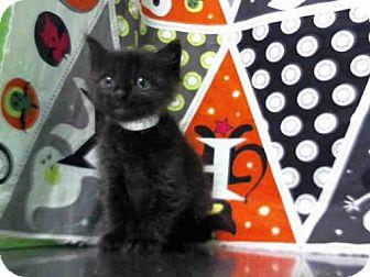 Domestic Shorthair Kitten for adoption in Houston, Texas - CALYPSO