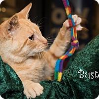 Domestic Shorthair Kitten for adoption in San Juan Capistrano, California - Buster