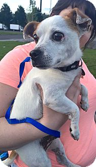 Jack Russell Terrier/Terrier (Unknown Type, Small) Mix Dog for adoption in Renton, Washington - Tonka