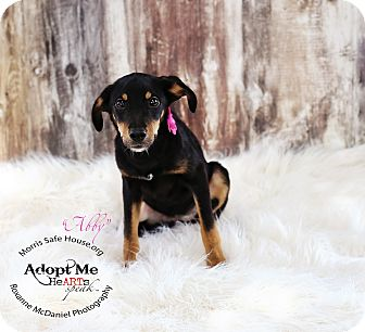 Border Collie/Schnauzer (Miniature) Mix Puppy for adoption in Lubbock, Texas - ABBY