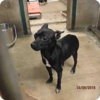 Adopt A Pet :: LIL GIRL - Oroville, CA