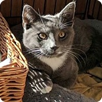 Domestic Shorthair Kitten for adoption in Manasquan, New Jersey - Solid Gray male kitten