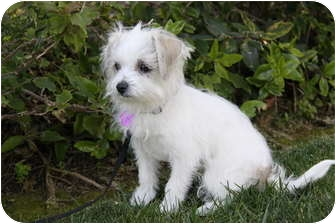 jack russell maltese mix randall adopted puppy newport beach ca maltese jack 7255