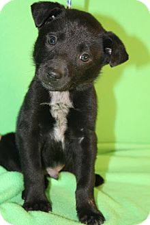 Border Collie/Collie Mix Puppy for adoption in Broomfield, Colorado - Seinfeld