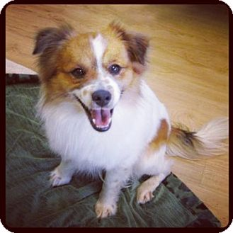 Sheltie, Shetland Sheepdog/Brittany Mix Dog for adoption in High Point, North Carolina - Martin