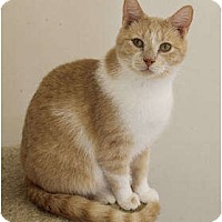 American Shorthair Cat for adoption in SHARONVILLE, Ohio - Brutus