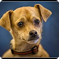 Adopt A Pet :: Coco - Wickenburg, AZ
