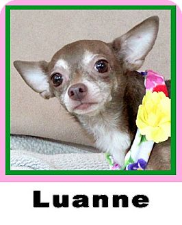 Chihuahua Dog for adoption in Plano, Texas - Luanne