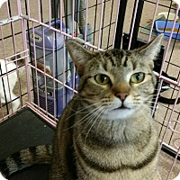 Domestic Shorthair Cat for adoption in Maryville, Tennessee - Lucky Lacy