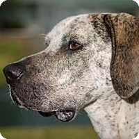 Pointer Mix Dog for adoption in Loxahatchee, Florida - Chester