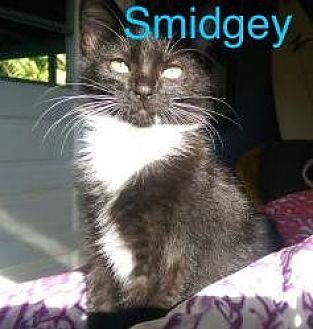 Domestic Shorthair Cat for adoption in Satellite Beach, Florida - Smidgey