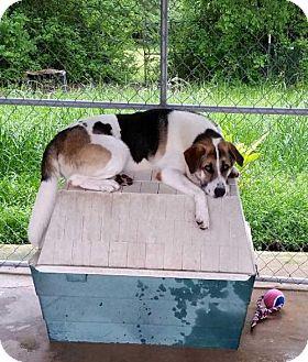 St. Bernard/Karelian Bear Dog Mix Dog for adoption in Jefferson, Texas - Baily