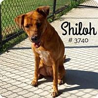 Labrador Retriever Mix Dog for adoption in Alvin, Texas - Shiloh