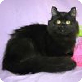 Domestic Longhair Cat for adoption in Powell, Ohio - Zeandra