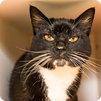 Adopt A Pet :: Peeves - Lowell, MA