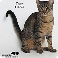 Domestic Shorthair Cat for adoption in Baton Rouge, Louisiana - Trixie