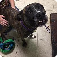 American Pit Bull Terrier/Boxer Mix Dog for adoption in Fulton, Missouri - Cornbread- Ohio
