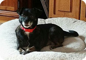 Chihuahua Mix Dog for adoption in House Springs, Missouri - Elsa