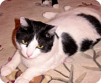 Domestic Shorthair Cat for adoption in Brooklyn, New York - Precious Pupsik, So Gentle & Sweet