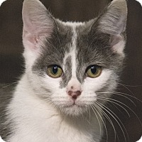 Domestic Shorthair Kitten for adoption in Chicago, Illinois - Cara
