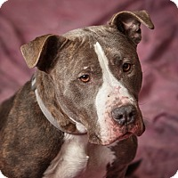 Adopt A Pet :: Shakira - Harrisonburg, VA