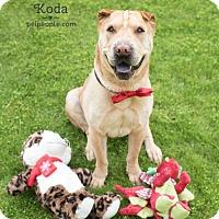 Shar Pei Dog for adoption in Las Vegas, Nevada - Koda