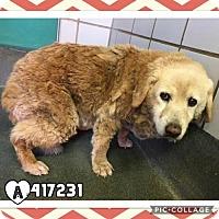 Adopt A Pet :: SADIE - San Antonio, TX
