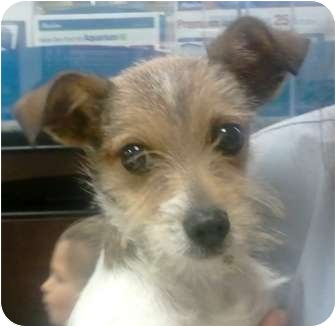 ... Puppy | Peanut | Orlando, FL | Fox Terrier (Wirehaired)/Chihuahua Mix