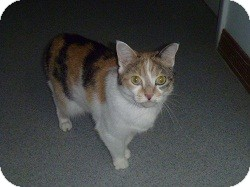 Domestic Shorthair Cat for adoption in Hamburg, New York - Adele