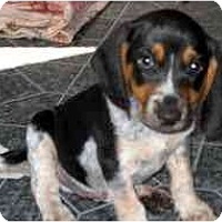 Adopt A Pet :: Dimitriy - Novi, MI